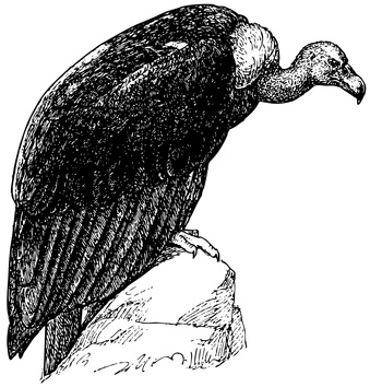 Bird White-rumped Vulture
